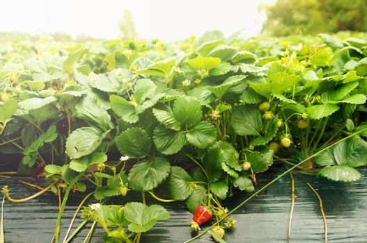 growing strawberries in the farm