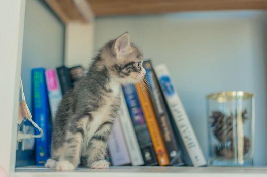 Gray kitten sits on shelves near books.