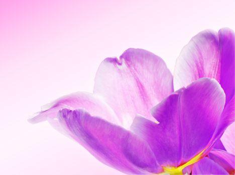 beautiful violet flower closeup
