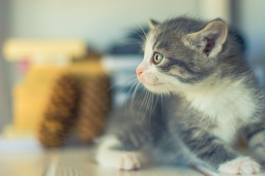 side view of a gray-white kitten sitting on a shelf