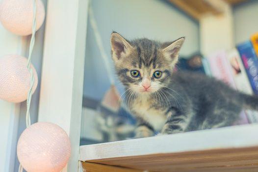 little gray kitten sits on a shelf with a garland of light bulbs