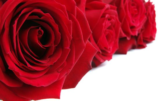 red roses background on white with copy space