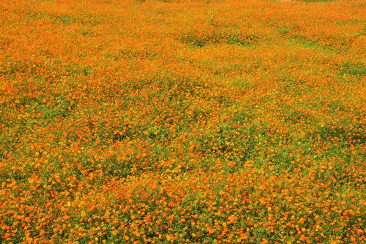 The cosmos flower field