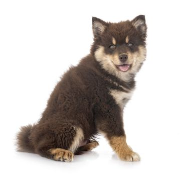 puppy Finnish Lapphund in front of white background