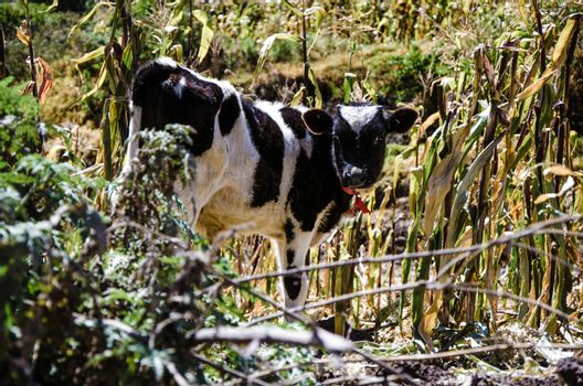 Cow among the grasslands