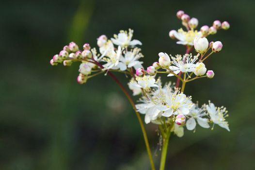 Dropwort Summer Flower Close Up