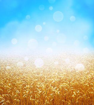 Golden wheat field growing slowly on a fresh blue sky background