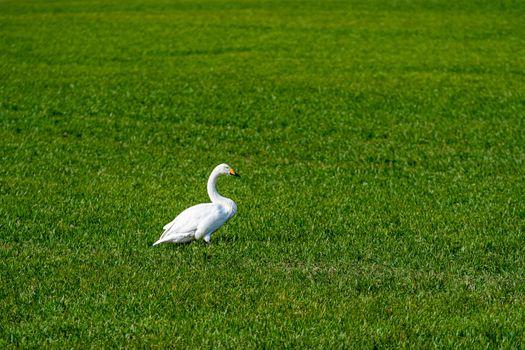 Whooper swan (Cygnus cygnus), Whooper swan feeding and resting on green meadow