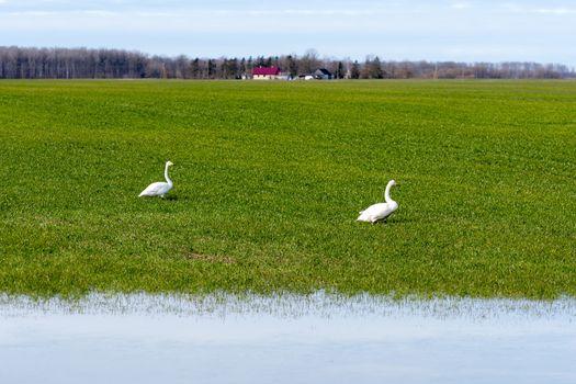 Whooper swan (Cygnus cygnus), Whooper swan feeding and resting on green flooded meadows near rural houses