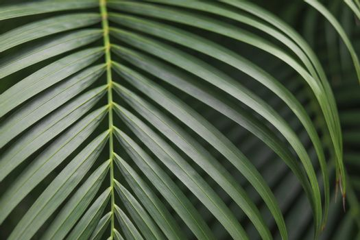 Green betel palm leaves background.
