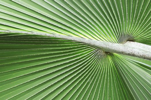 Green palm leaves with petioles background. Green palm leaves background.