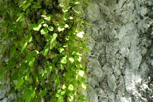 Green Leaves with Concrete Wall.
