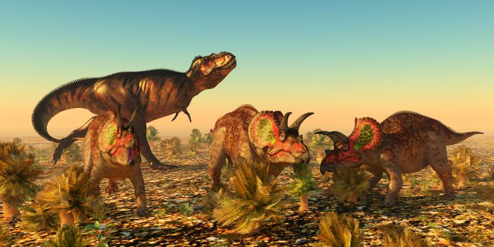 A group of male Triceratops dinosaurs become alarmed as a Tyrannosaurus rex carnivore eyes them as prey in Jurassic North America.