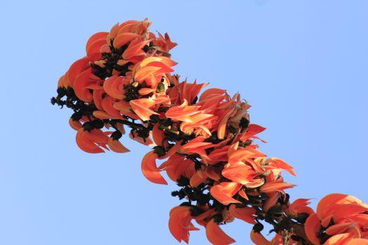 Butea monosperma is a medium-sized tree.