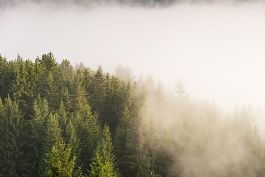 Trees in morning fog. View of foggy forest.