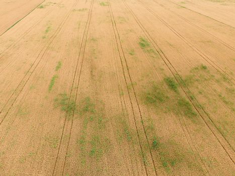 field of wheat, a top view. Photo Shooting quadrocopters field of ripe crops.