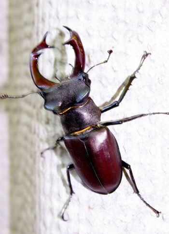 Stag beetle (Lucanus cervus). One of the largest beetles on the planet. Size can reach 4-5 inches. This species of beetle is protected by law in many countries.