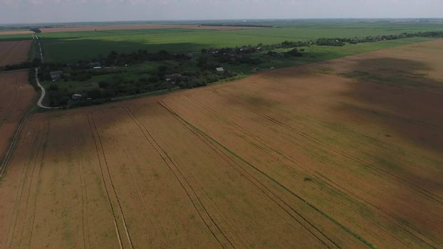 Field of ripe wheat. Growing crops in the fields. View from above.