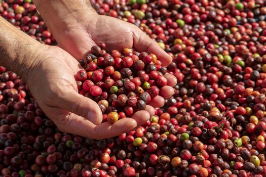 Fresh Arabica coffee berries . Organic coffee farm