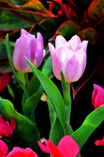 PinkTulip. Beautiful bouquet of tulips. colorful tulips. tulips in spring,colourful tulip