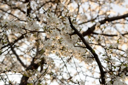 Blossom apricot flowers in the spring
