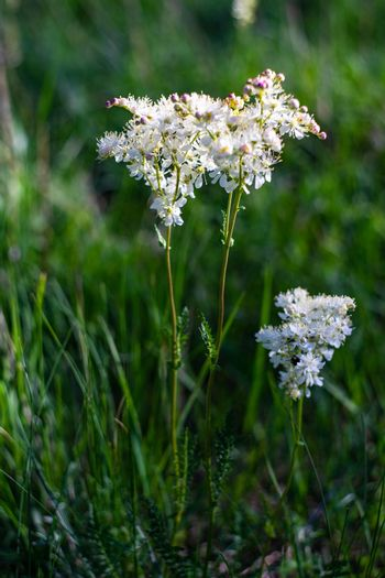 Wild white flowers of medical plant
