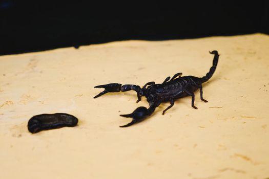 Scorpio in the terrarium. Black scorpion is a poisonous arthropod.