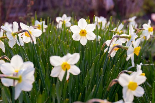 White daffodils grow in the backyard, spring landscape