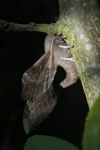Poplar hawk moth shows its upwardly curved body, and extensive wings. Dappled day sunlight, plain dark background.