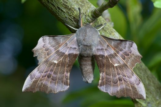 Rich detailed image of a large poplar hawk moth and its big spread wings. Blue and green smooth background.