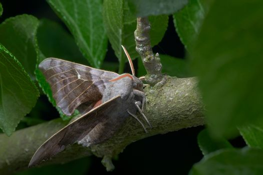 Front, side on view of a large poplar hawk moth as it rests on a thick branch, green with lichen.