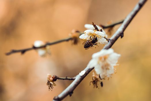 Plum Blossom Bloom Tree White