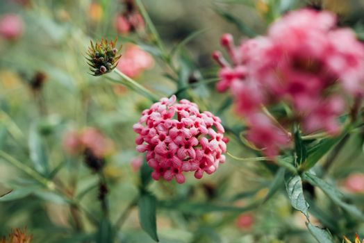 Flower (Ixora Flower) pink color in the garden