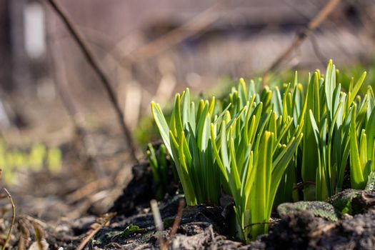The green shoots of Daffodils in the spring. Daffodils sprout through the ground in spring.