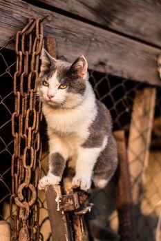 F1 Savannah kitten on the stairs