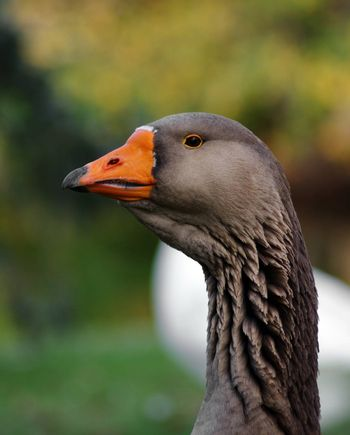 portrait of beautiful goose in the park
