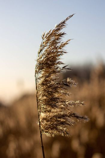 Selective soft focus of dry grass, reeds, stalks blowing in the wind at golden sunset light, Nature, summer, grass concept