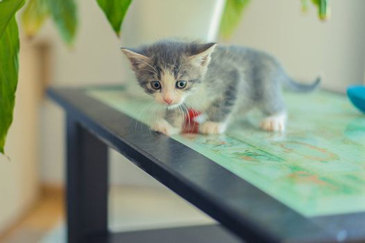 gray kitten stands on a black table with glass in the room