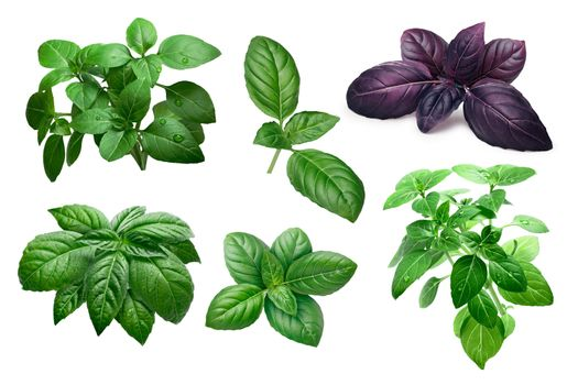 Fresh basil (basilicum ocimum) leaves and shrubs, different varieties. Clipping paths, infinite depth of field
