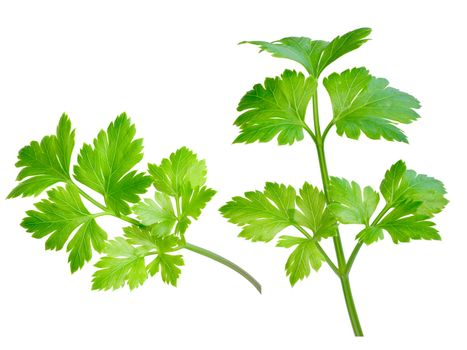 Flat-leaved parsley. Clipping path, infinite depth of field,natural colors