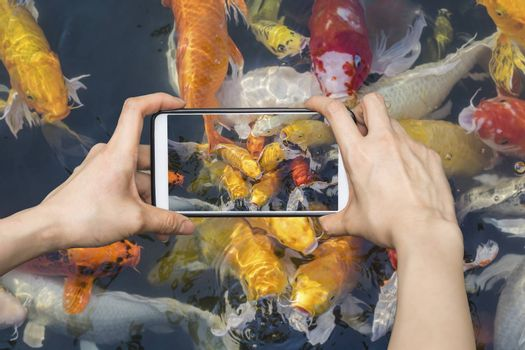 Taking pictures on mobile smart phone Colorful fancy carp fish, koi fish