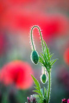Close up of poppy bud
