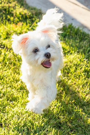 Adorable Maltese Puppy Playing In The Yard.