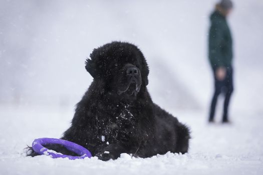 Newfoundland dog in front and a man in the background.