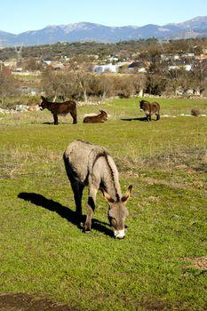 Donkey in the field. Species in extinction