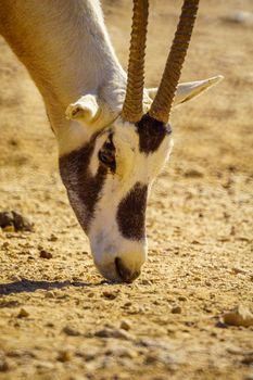 Arabian oryx, in the Yotvata Hai-Bar Nature Reserve