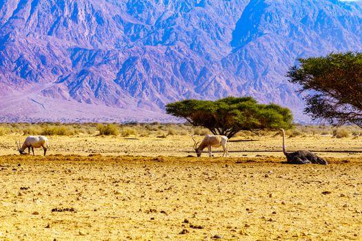 Wildlife in the Yotvata Hai-Bar Nature Reserve