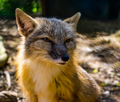 corsac fox with its face in closeup, tropical wild dog specie from Asia