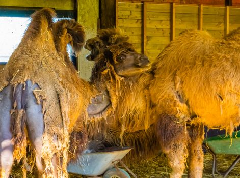 closeup of bactrian camels with hair loss, animals with alopecia