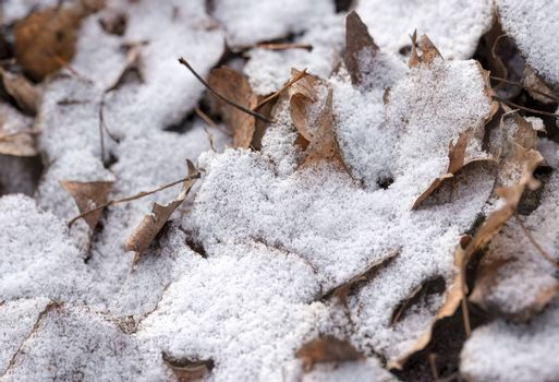 Dry leaves covered by snow during a cold winter